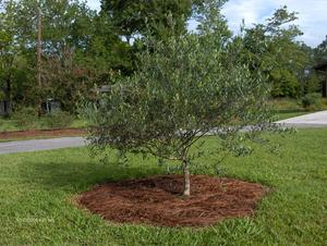 PLANTING Olive Trees Require A Well Drained Soil And A Sunny Position.  Avoid Sites Where Water Stands During Rainy Periods Or Where Ground Water  Seeps Into ...