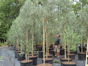 Olive Tree Growers Olive Tree Varieties Arbequina Frantoio Koroneiki Leccino Manzanillo Mission Nicoise Pendolino Picaul