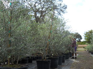 Our Olive Tree Nursery