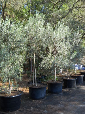 Olive Tree Growers Buy Olive Trees Order Olive Trees Online