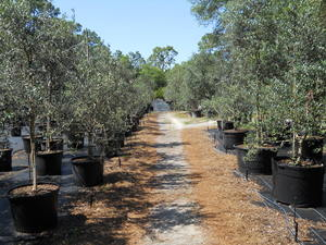 Large Inventory Of Landscape Size Olive Trees