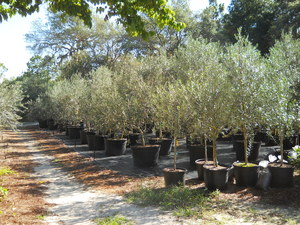 Olive Tree Growers The Care And