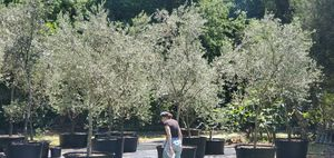 Olive Tree Growers Olive Trees For Landscape Garden And Patio